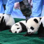 三隻新生秦嶺大熊貓 亮相「百日宴」