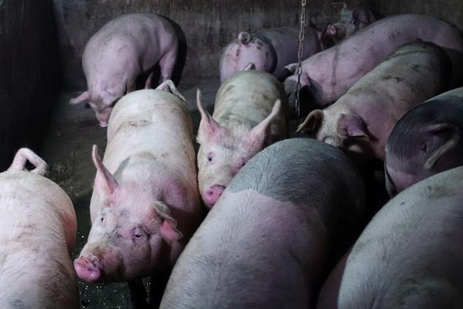 中國豬瘟疫情影響肝素生產。路透