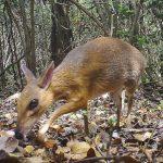 稀有越南老鼠鹿 近30年首度現蹤