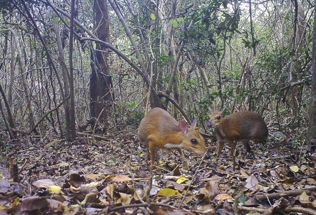 一種外觀似鹿、大小相當於兔子或貓的小型哺乳類動物銀背鼷鹿(越南老鼠鹿),在失去蹤跡近30年後,近日首度在越南被發現。美聯社
