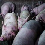 中國疑再爆非洲豬瘟疫情 官方無通報紀錄