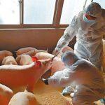 中國撲殺豬隻讓全球傷「心」?心臟病藥原來從豬腸提煉