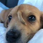 超可愛「獨角獸」小狗獲救! 臉上的尾巴好酷