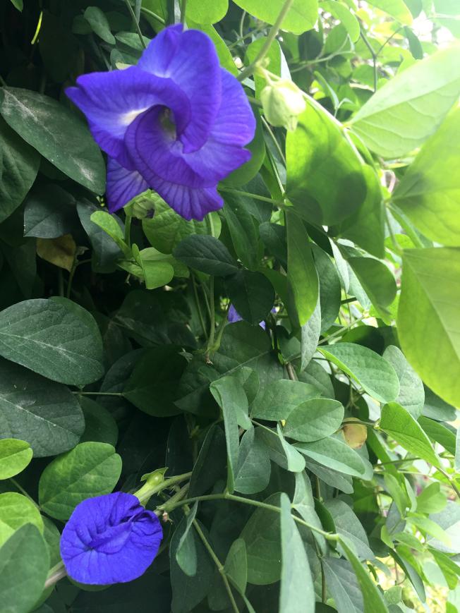 蝶豆花是B-fly 茶的主要成分,含有豐富的花青素。(本報資料照)