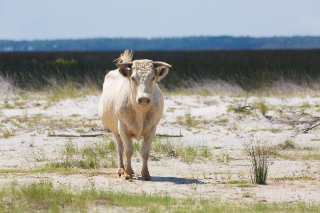 今年9月颶風多利安自北州外灘登陸,暴漲的洪水將許多牲畜捲出外海。然而在外灘竟發現三頭當初被颶風捲走卻生還的牛。(取自推特 )