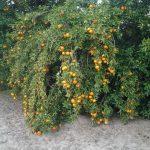喬州連日低溫 柑橘果農急採收