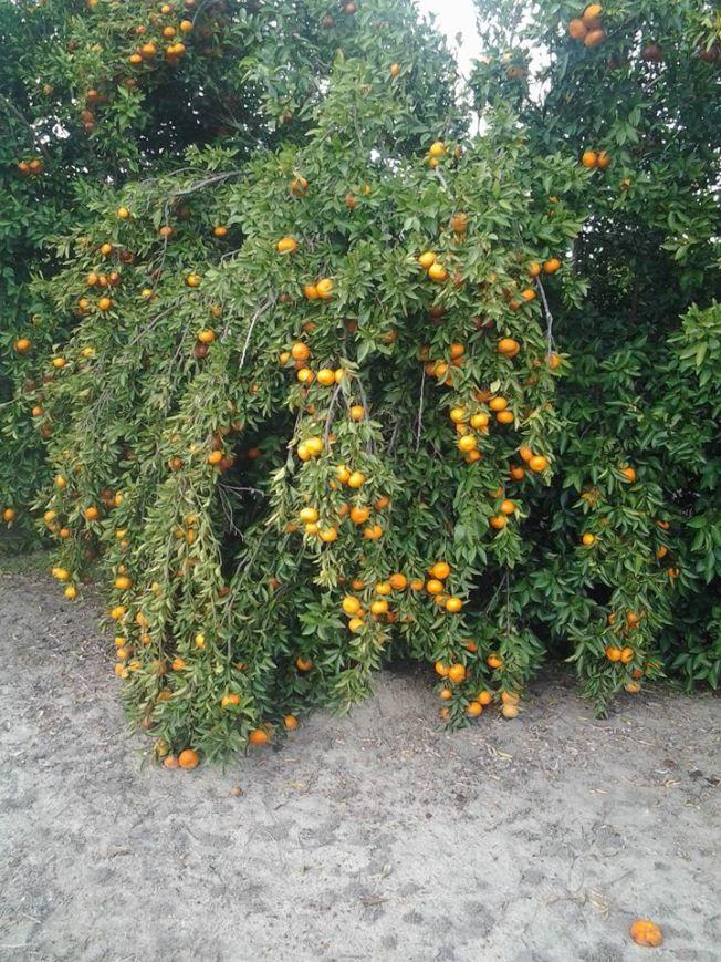 本周三夜晚氣溫降至冰點以下,喬州南部柑橘果農抓緊時間採收。(取自Fruit Factory臉書)