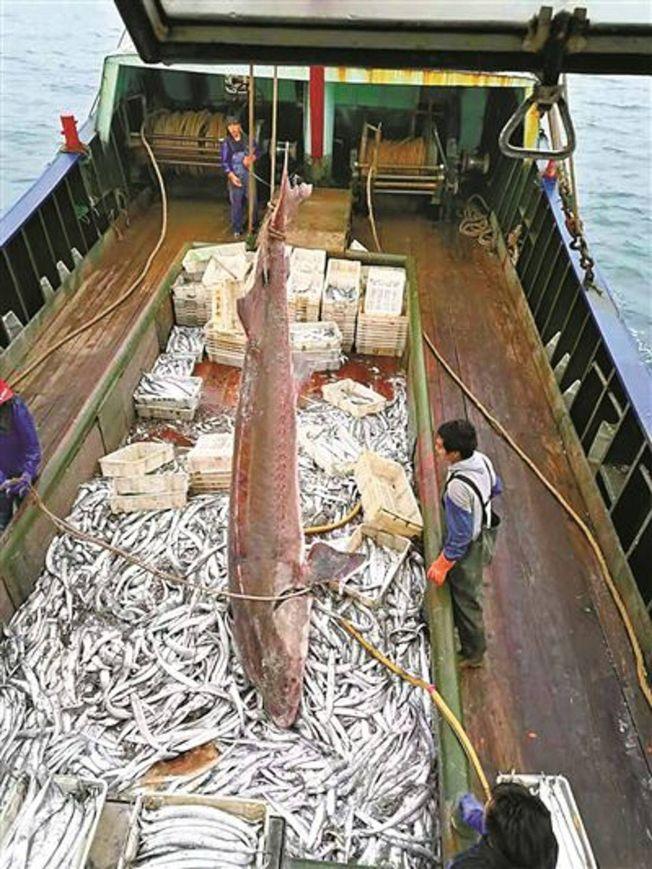 漁民撈起中華鱘後,發現其狀況非常良好,表面未見有損傷。(取材自微博)