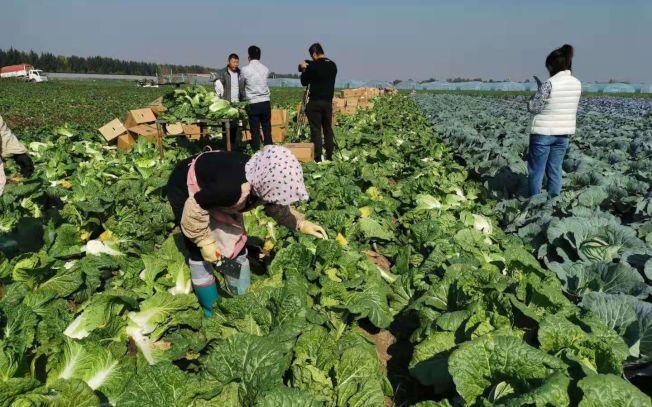除了山東萊西市,還有蘭州、瀋陽、兩湖地區冬季白菜也將出口韓國醃製成泡菜上餐桌。(取材自新京報)