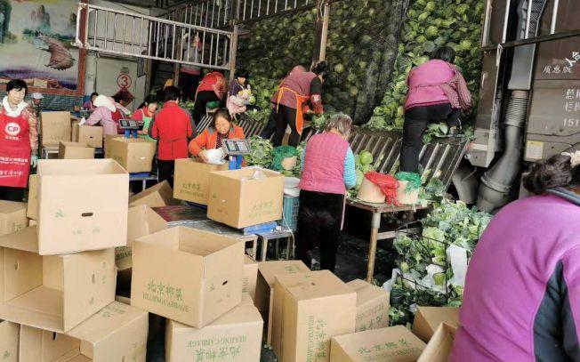 山東萊西白菜出口量翻倍大增,成韓國泡菜的替代食材。(取材自新京報)