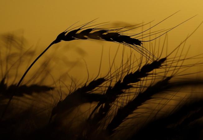 儘管美中貿易緊張未解,中國仍持續擴大採購美國小麥。   美聯社