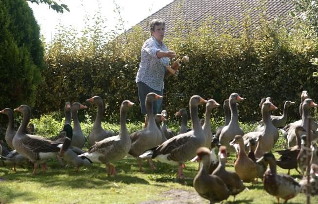 法國一名小農場主人因為養鴨製造噪音,引發鄰居狀告法院,但法院今天判決鴨子主人勝訴。(Getty Images)