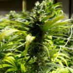 娛樂大麻合法化 新州2020公投決定