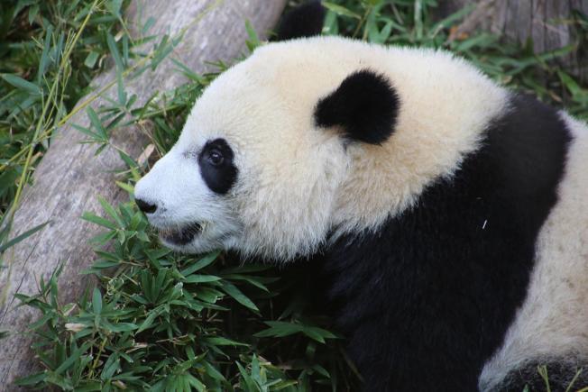 生於2015年8月22日的貝貝在華府過完四歲生日後,19日被送回中國。(國家動物園提供)