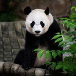 華府熊貓貝貝 坐16小時專機飛回成都