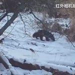 大興安嶺北慶森林資源管護區 攝得貂熊影像