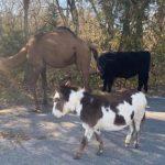 駱駝、母牛和驢子同框!不是演聖經故事 只是走失了