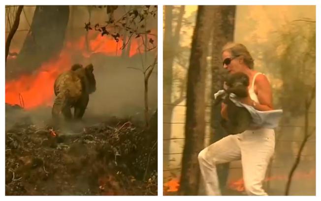 澳洲新南威爾斯野火重創當地生態,當地一名女子19日被拍到,在一場森林大火中冒險拯救了一隻受困的無尾熊。路透/NINE NETWORK / SEVEN NETWORK