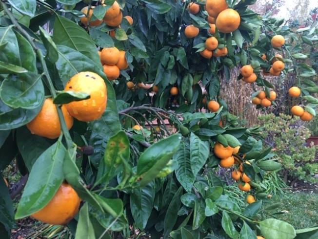 很多華人後院的果樹被雨水沖刷一新。(記者楊青/攝影)