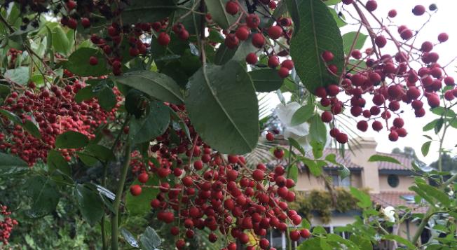 雨水沖刷果樹,帶來清新空氣。(記者楊青/攝影)