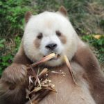 全球唯一圈養棕色大熊貓 七仔被終身認養