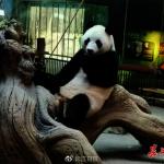 武漢動物園展熊貓便便 嗯…有竹香味