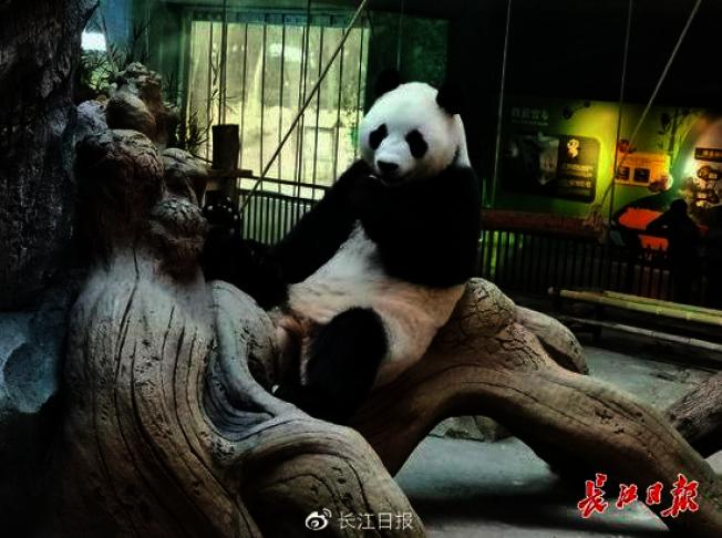 武漢動物園推出「展示大熊貓糞便,讓遊客聞聞它氣味」科普項目,。很受遊客喜愛。(取材自長江日報)