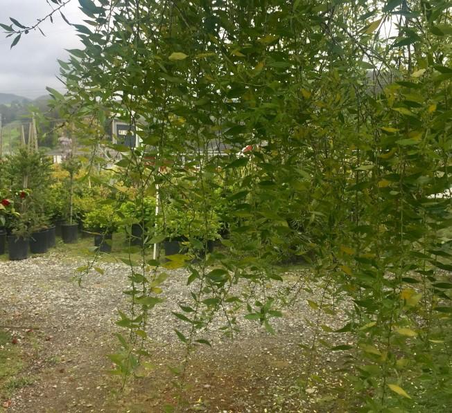 枝葉柔軟細緻,呈翠綠色。
