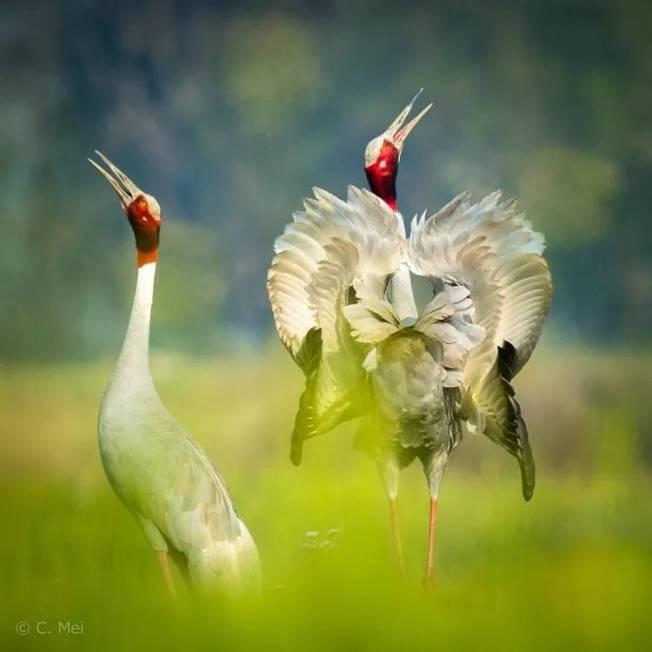 梅慈敏在尼泊爾所拍攝的赤頸鶴,在中國已銷聲匿跡。(梅慈敏提供)