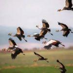 華裔攝影師梅慈敏 踏遍全球拍「鶴」 登上國家地理網站