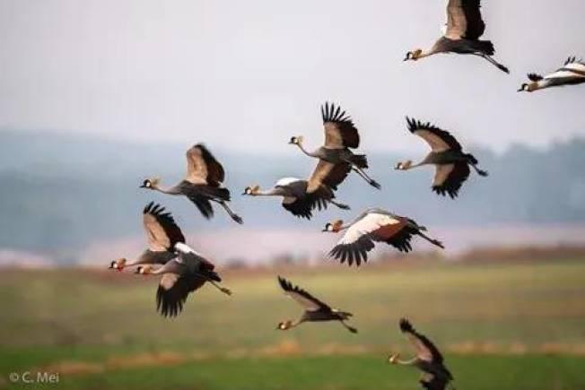 今年梅慈敏在南非所拍攝的灰冠鶴。(梅慈敏提供)