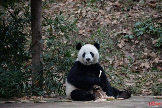 出生於美國史密桑寧國家動物園的熊貓「貝貝」回到中國。(取材自紅星新聞)