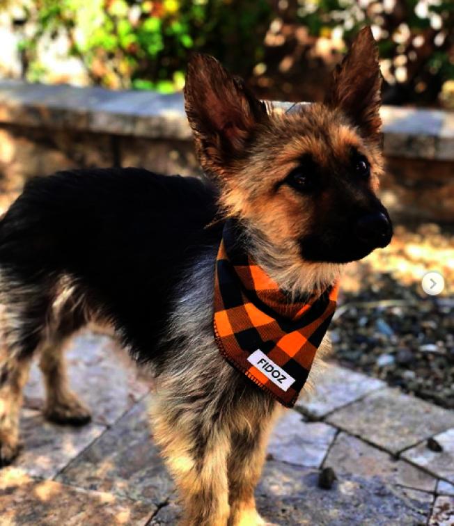2歲德國牧羊犬「藍爵」罹患罕見疾病「垂體侏儒症」,一直保持幼犬的外型。取材自Instagram