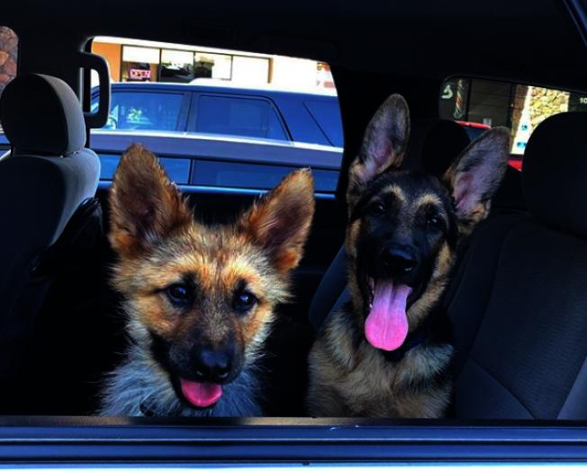 德國牧羊犬「藍爵」(左)罹患罕見疾病「垂體侏儒症」,雖然2歲,卻保持幼犬的外型。取材自Instagram