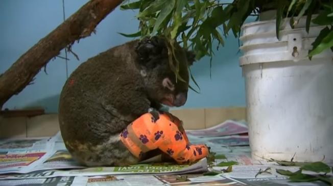 澳洲新南威爾斯省野火持續肆虐,當地女子杜荷蒂(Toni Doherty)19日被拍到不顧自身安危、直闖濃煙瀰漫的火場,救出一隻被火紋身、已嚴重燒傷的無尾熊。杜荷蒂隔日到獸醫院探望這隻無尾熊時,謙稱「只是天生本能」促使她伸出援手。翻攝The National