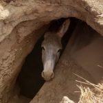小野驢困地洞 出動挖土機救出