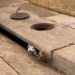 狗困下水道 動物局救出