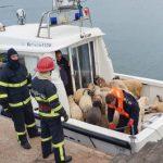 載著上萬隻綿羊的貨輪翻覆!只救起32隻 事故原因不明