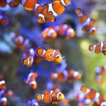 海洋暖化破壞棲息地 「海底總動員」小丑魚瀕臨滅種