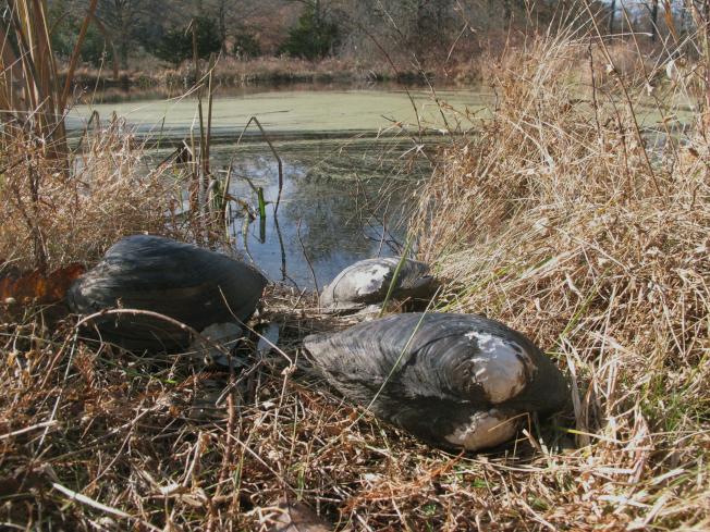 新澤西州杭特登郡的一個魚塭裡發現像足球一樣大的中國貽貝已被摧毀,以免對生態造成嚴重破壞。(美聯社)