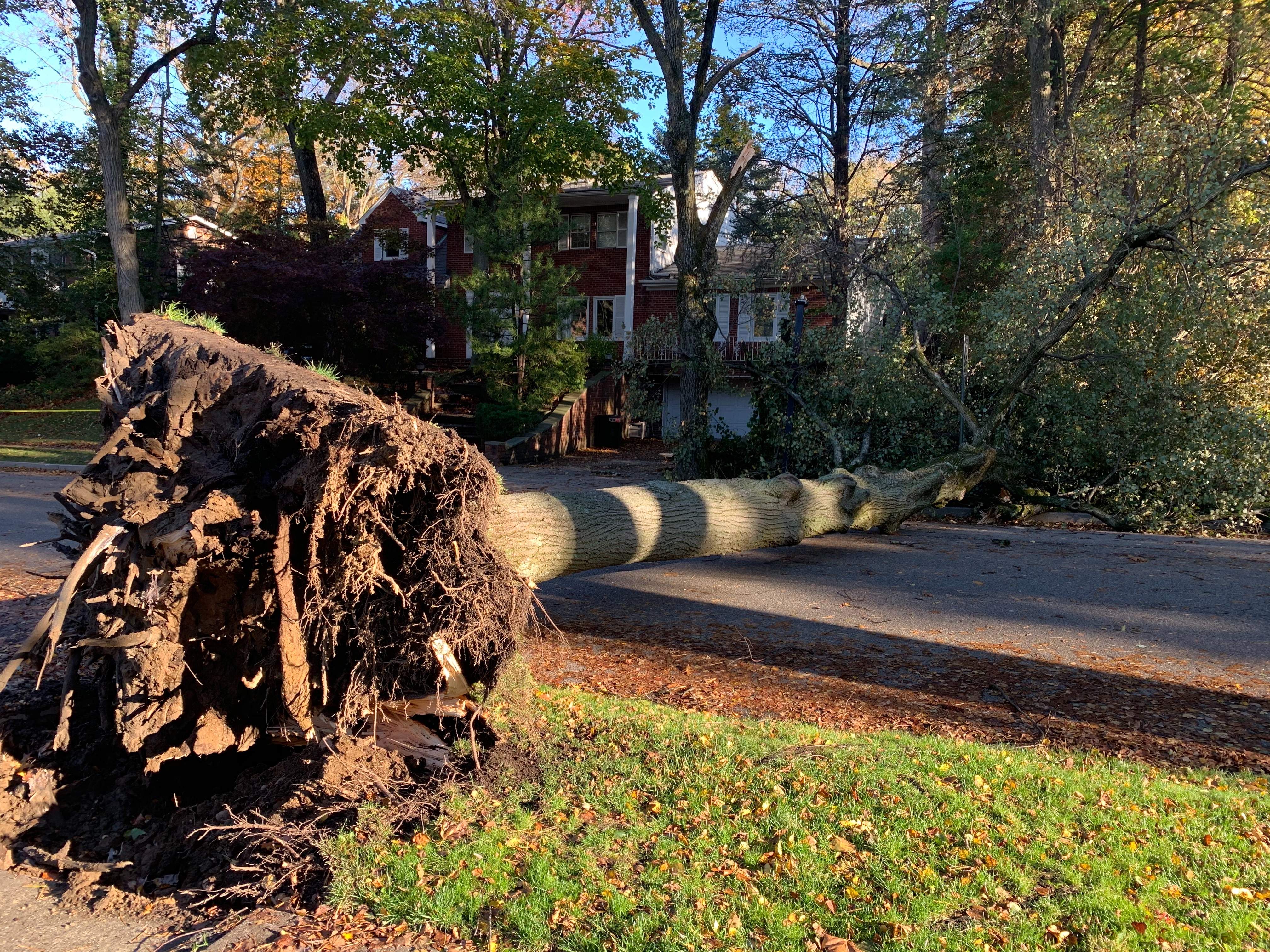 在長島大頸University Garden的Merrivale Rd.,一棵被連根拔起的大樹,攔腰阻斷馬路交通。(記者曹健/攝影)