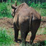 犀牛界最長壽! 57歲黑犀牛奶奶 壽終正寢