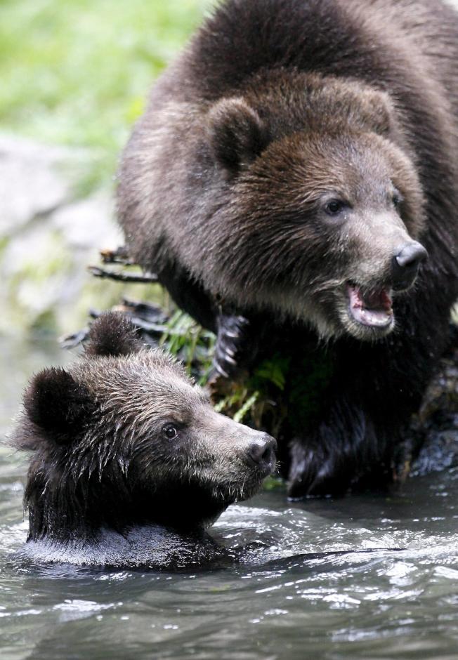 羅馬尼亞 熊禍來襲?