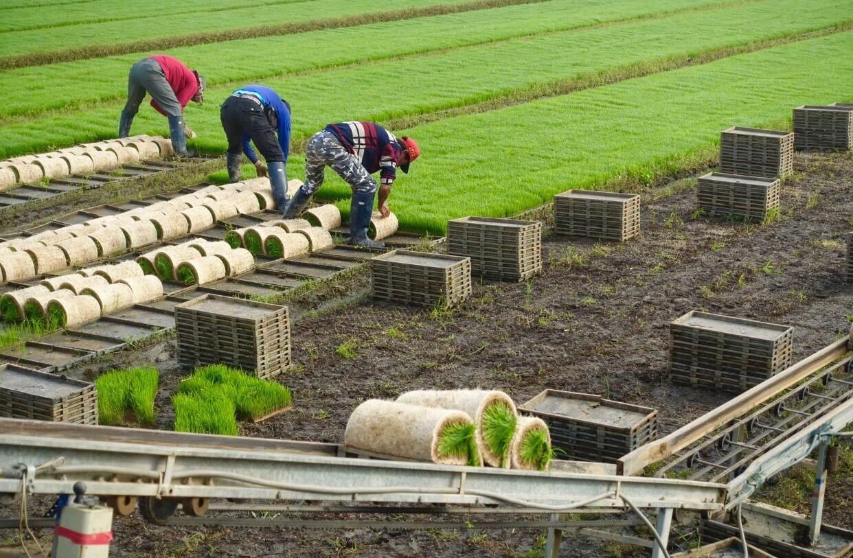 台灣農民憑多年豐富經驗種植出優質的台灣稻榖。