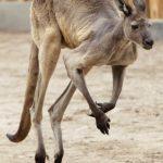 澳洲野火肆虐 動物生存煉獄