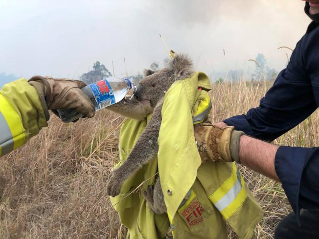 澳洲消防人員在新南威爾斯省野火中救出一隻無尾熊,並給牠喝水。(路透)