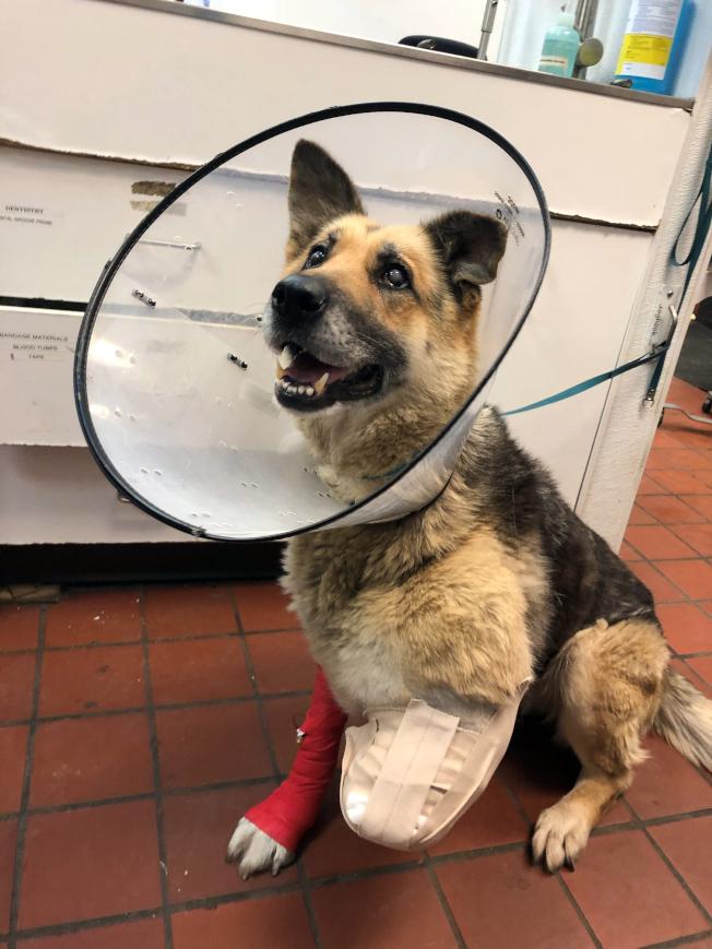 一條牧羊犬在紐約州北部被拴在外面沒有食物或水的推車旁,狗的主人將面臨殘酷虐待動物指控。(美聯社)