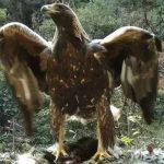 腳踩豬獾展翅 湖北1.2米「神鵰」驚現