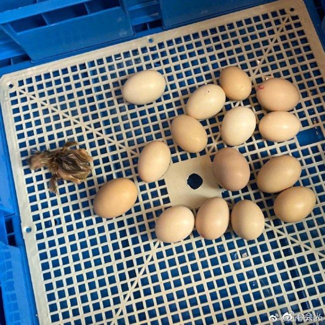 """孫儷記錄了小雞""""老三""""誕生的過程。(取材自微博)"""