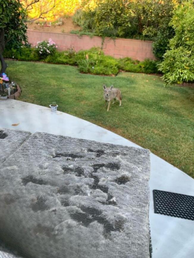 民眾拍下土狼侵入後院的照片。(讀者提供)